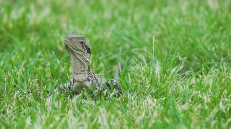 Australian water dragon Intellagama lesueurii in Queensland, Australia Stock Footage