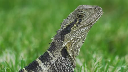 Close up shot of an Australian water dragon Intellagama lesueurii, Australia Stock Footage