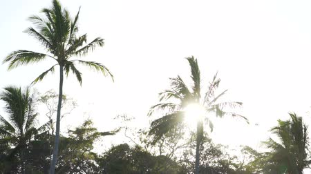 Coconut trees backlit in the sunset in Australia