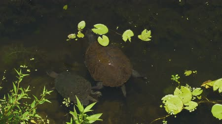 Kreffts short-necked turtle emydura krefftii walking in Australia