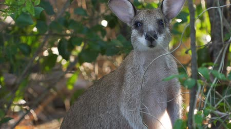 wallaby : Wallaby close up shot in the forest in Australia