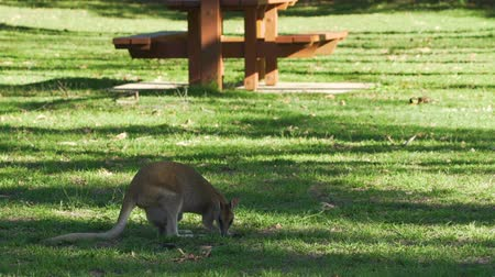 wallaby : Wallaby eating in Cape Hillsborough national park, Queensland, Australia