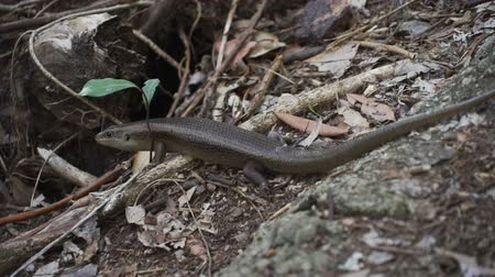 도마뱀 : 호주의 Murray s skink 또는 blue speckled forest skink Silvascincus 무비클립