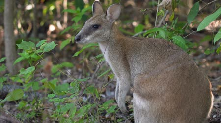 wallaby : Close up shot of a Wallaby in Cape Hillsborough national park, Australia Stock Footage