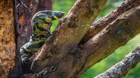 pihenő : Closeup shot of a goanna lizard resting in a tree, zoom in