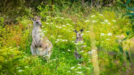canguru : Mother and baby kangaroo hiding in the grass, zoom in
