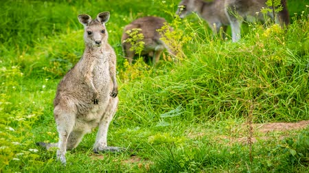 fotoğrafçı : Young and cute baby kangaroo looking at the photographer, zoom in Stok Video