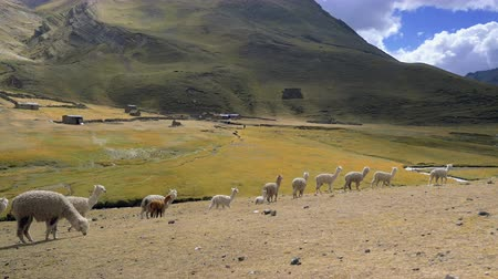 Alpacas in Line on the Field around Raimbow Mountain, Peru Stok Video