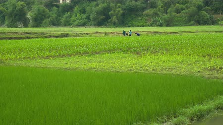 Farmers Planting Rice on Green Field Aroud Babe Lake, Vietnam Stok Video