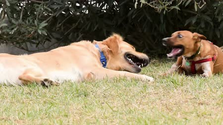 de raça pura : Two happy dogs playing in the park. Vídeos