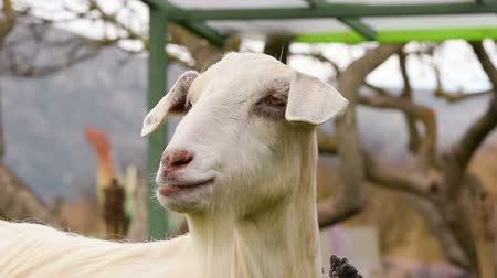 cabra : Portrait of a cute goat bleating.