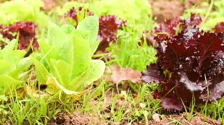 organic : Organic garden with lettuces motion.