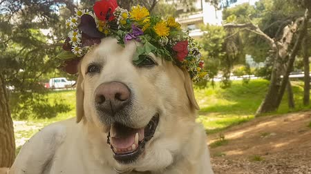 koszorú : 1st of May labour day with a labrador dog wearing a chaplet.