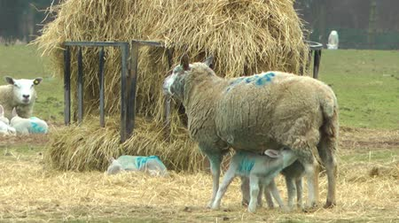 wełna : New Born Lamb Suckling its Mother - Staffordshire England Wideo