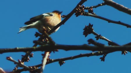 İngilizce : Chaffinch Sitting In A Tree
