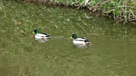 утки : Mallard Ducks Swimming Стоковые видеозаписи