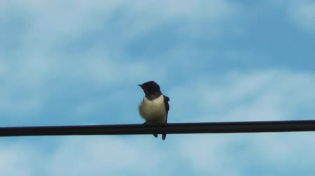 fil : Bird on a Wire - Swallow