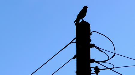 kutup : Bird on Telegraph Pole - Silhouette