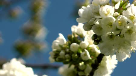 aubépine : Cherry Blossom Close Up