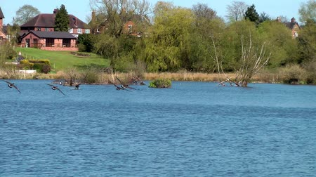water conservation : Canada Geese in Flight - Doxey Marshes, Staffordshire England (6th May 2013)