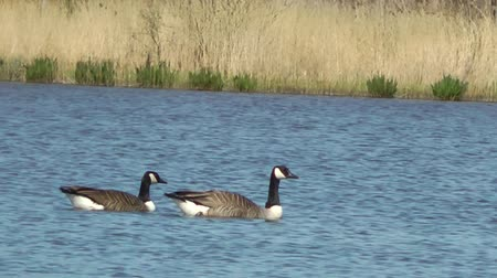 water conservation : Canada Geese Swimming - Doxey Marshes, Staffordshire England (6th May 2013)