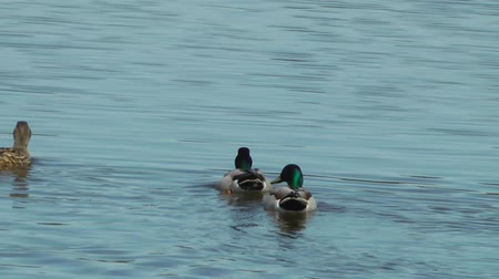 утки : Mallard Ducks Swimming - Doxey Marshes, Staffordshire England (6th May 2013)