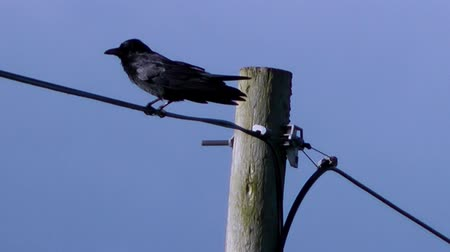 birds flying : Bird on Telegraph Pole, squawks and then flies away - With Audio
