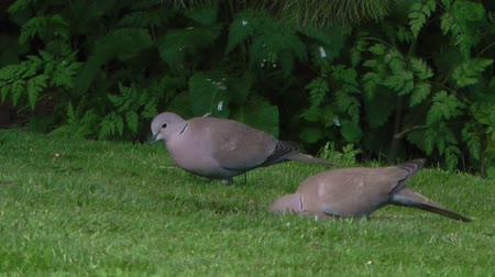 rock dove : Two Turtle Doves pecking at seed