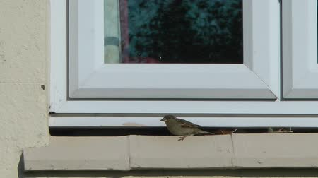 śpiew : Sparrow on a window ledge flys away Wideo