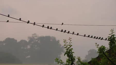 kable : Group of Swallows gathered on a telegraph line