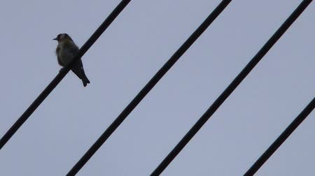telegrafo : Bird on Telegraph Lines - Cardellino Filmati Stock