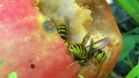 darázs : Wasps devouring an apple