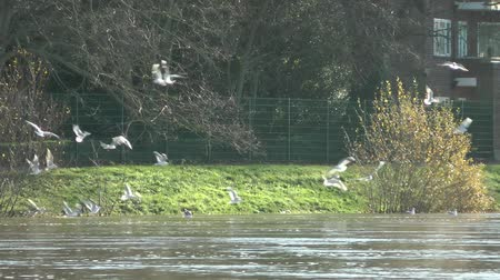 táj : Flock of birds feeding and flying over river water on The River Thames, London