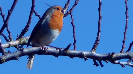 śpiew : Bird Singing in tree branches against a beautiful blue sky - Robin with audio