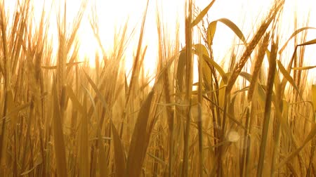 termés : Farming Agriculture Golden Wheat Caressed by Sunlight Nature Background Close Up Shot Stock mozgókép