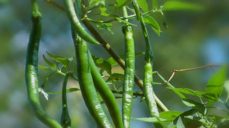 biber : green chilli plant Stok Video