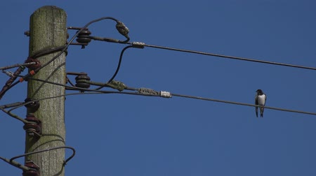 kable : Lonely solitary bird on telegraph line, clear blue skies Wideo