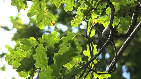 napfény : Oak Tree Leaves Reflecting Shimmering Sunlight - Countryside natural background