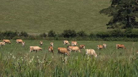 anglia : Livestock Dairy Cattle In Field - shot from boat when cruising past on water