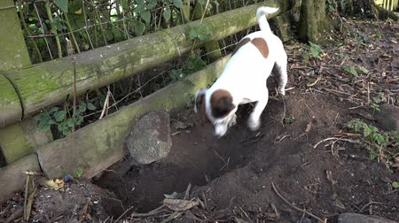 ásta : Small cute family pet dog digging a hole Stock mozgókép