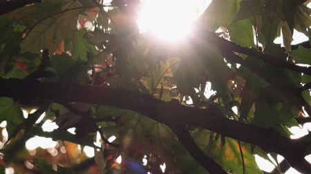 acer : Sunlight through autumn leaves on acer tree nature background Stock Footage