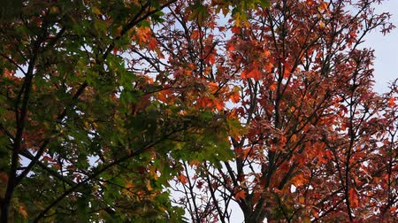 acer : Autumn leaves on acer tree nature background Stock Footage