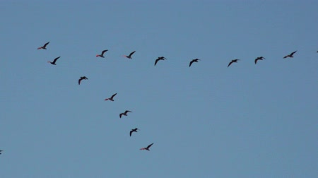 птица : Flock of migrating birds flying in formation nature background Стоковые видеозаписи