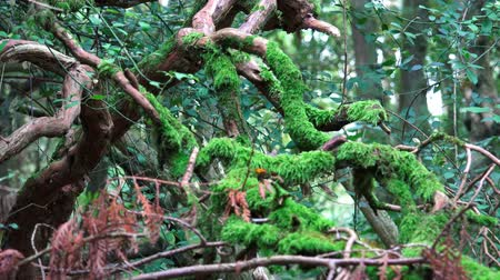 hátborzongató : Forest Scenic - Old tree branches covered in green moss - Nature background