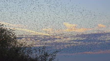 bird family : flock of birds - murmuration of starlings - British Wildlife Stock Footage