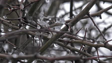 ramo : winter hedgerow thorns water and ice -natural background