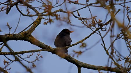 outside view : black bird sitting in tree - Staffordshire, England Stock Footage