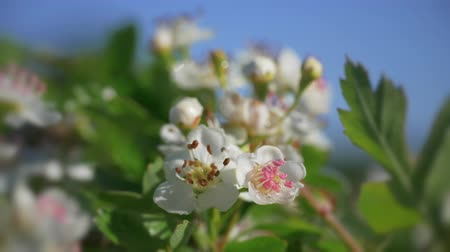aubépine : May flower on hawthorn hedge plant - Stafford, Midlands, Angleterre