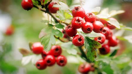 aubépine : baies rouges mûres hawthorn haies
