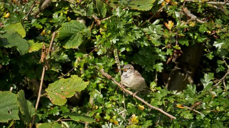 young sparrow : bird on a branch - hedge sparrow